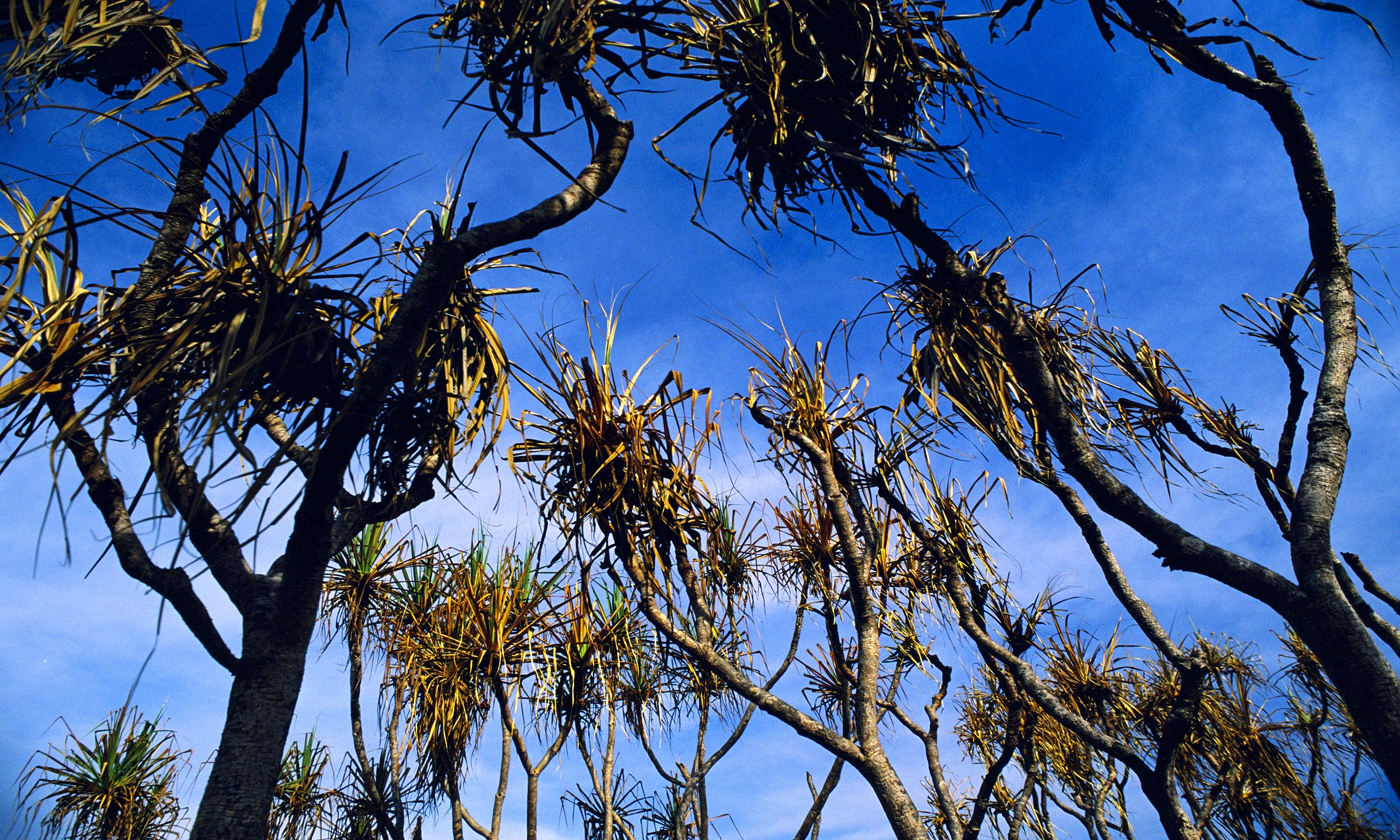Pandanus_Trunks_blue_sky.jpg