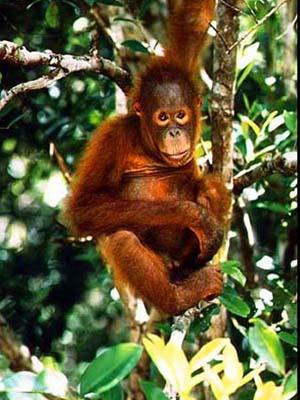 orang_tree.jpg
